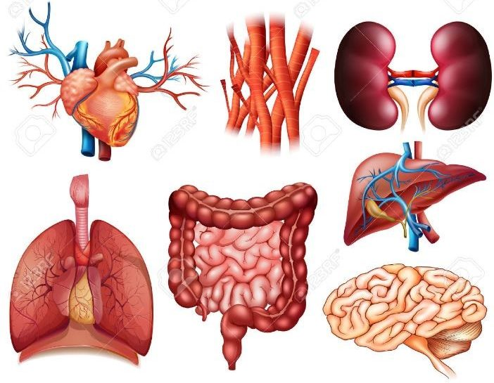 images of different organs in the human body