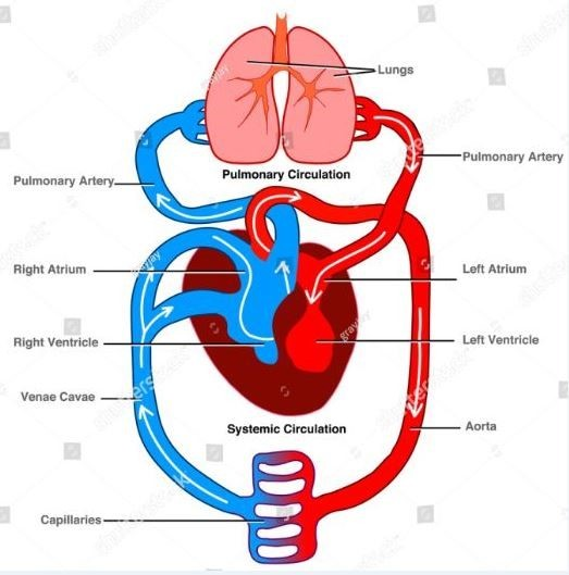 circulation of blood from the heart