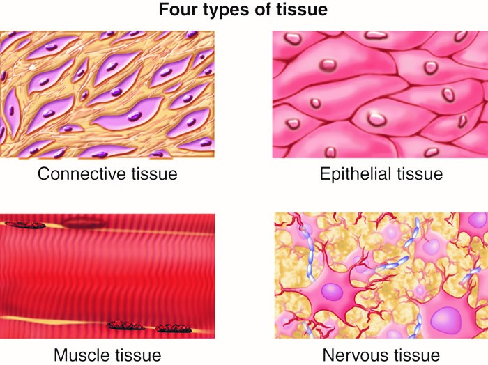 Four different types of tissues