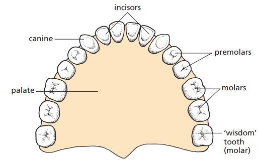 Teeth in human upper jaw